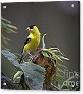 American Goldfinch 5 Acrylic Print