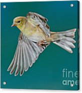 American Goldfinch Hen In Flight Acrylic Print