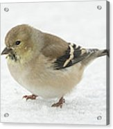 American Goldfinch In The Snow Acrylic Print