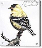 American Goldfinch Acrylic Print