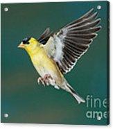American Goldfinch Male-flying Acrylic Print