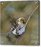 American Goldfinch On A Cedar Twig Acrylic Print