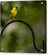 American Goldfinch Perched On A Shepherds Hook Acrylic Print