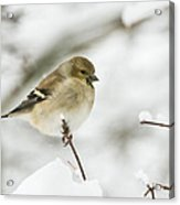 American Goldfinch Up Close  Acrylic Print