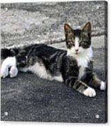 American Grey Tiger Stripe Kitten Portrait Acrylic Print