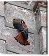 American Kestrel Perched On The Side Of A Building Acrylic Print