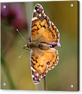 American Lady Butterfly Acrylic Print