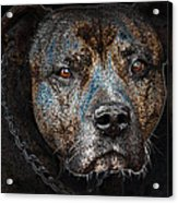 American Mastiff Acrylic Print