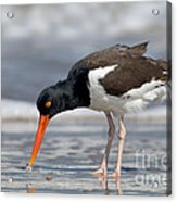 American Oystercatcher Feeding On Clam Acrylic Print
