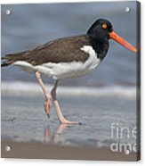 American Oystercatcher On Beach Acrylic Print