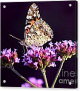 American Painted Lady Butterfly Purple Background Acrylic Print
