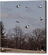 American Pelican Fly-over Acrylic Print