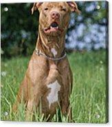 American Pit Bull Terrier Acrylic Print