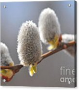 American Pussy Willow  Acrylic Print