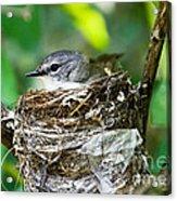 American Redstart Nest Acrylic Print