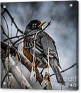 American Robin 2 Acrylic Print
