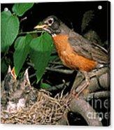 American Robin Feeding Its Young Acrylic Print