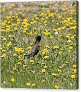 American Robin In A Field Of Dandelions Acrylic Print