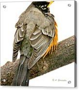 American Robin Male Animal Portrait Acrylic Print