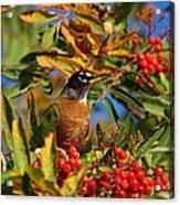 American Robin Acrylic Print