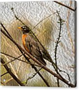 American Robin On A Branch Acrylic Print