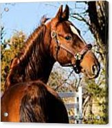 American Saddlebred Stallion Acrylic Print