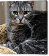 American Shorthair Cat Portrait Acrylic Print by Amy Cicconi