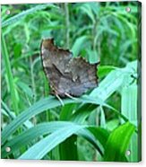 American Snout Butterfly Acrylic Print