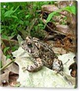 American Toad Acrylic Print