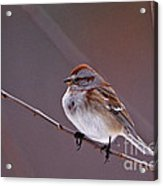 American Tree Sparrow In A Winter Setting Acrylic Print