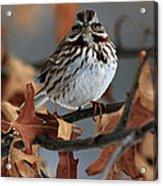 American Tree Sparrow No 2 Acrylic Print