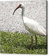 American White Ibis Poster Look Acrylic Print