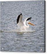 American White Pelican Landing 3 Acrylic Print