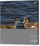 American Widgeon Pair Acrylic Print