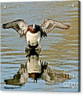 American Wigeon Drake Acrylic Print