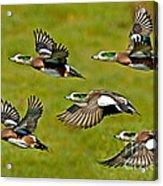 American Wigeon Drakes Acrylic Print