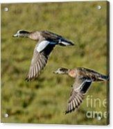 American Wigeon Pair In Flight Acrylic Print