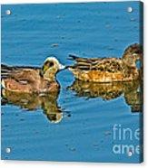 American Wigeon Pair Swimming Acrylic Print