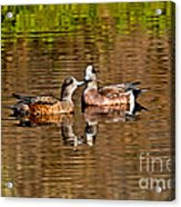 American Wigeon Pair Together Acrylic Print