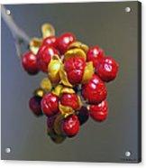 American Winterberry Acrylic Print