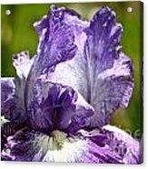 Amethyst Iris Acrylic Print