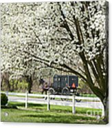 Amish Buggy Fowering Tree Acrylic Print