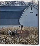 Amish Corn Picking And 1919 Barn Acrylic Print