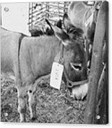 Amish Donkey At Action Acrylic Print