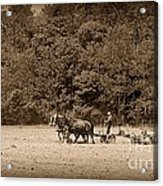 Amish Farmer Tilling The Fields In Black And White Acrylic Print
