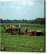 Amish Field Work Acrylic Print