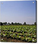 Amish Tobacco Fields Acrylic Print