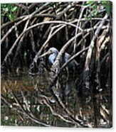 Among The Mangrove Roots Acrylic Print