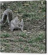 Gray Squirrel Among The Pine Cones Acrylic Print