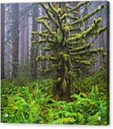 Among The Redwoods Acrylic Print